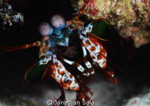 mantis shrimp by Jonathan Sala 